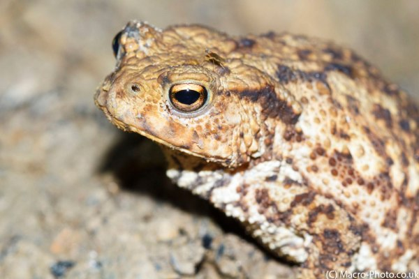 Toad with fly on head