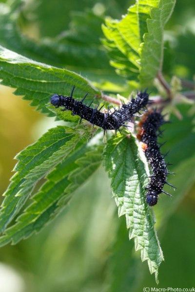 Pair of Catterpillars