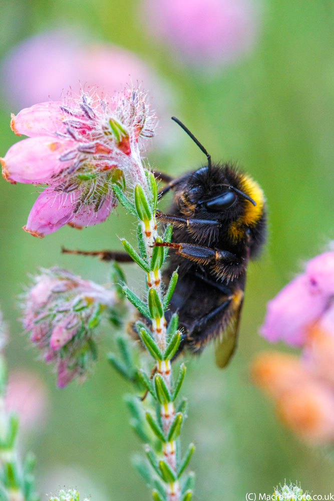 Bumble Bee on Heather