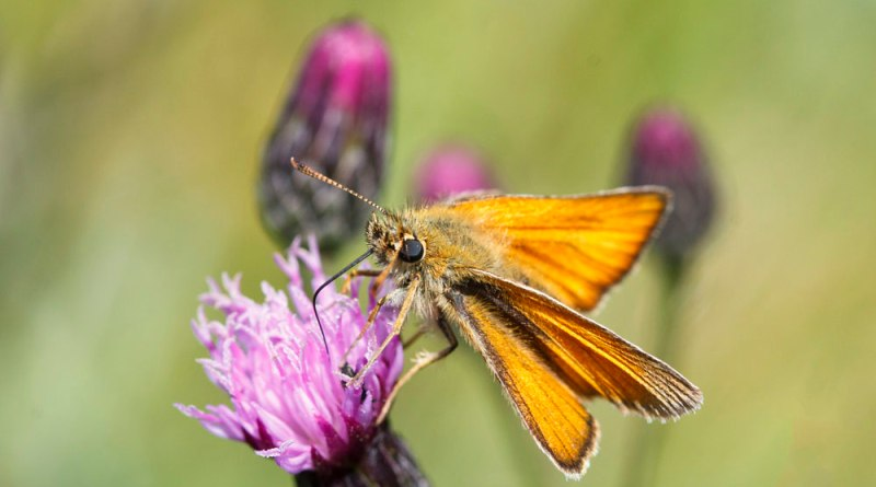 Small Skipper Nectaring (2)