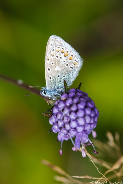 Common Blue perched on flower