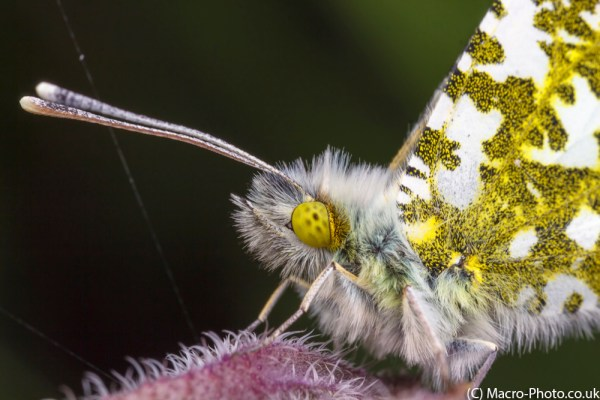 Male Orange Tip Butterfly at around 1x magnification
