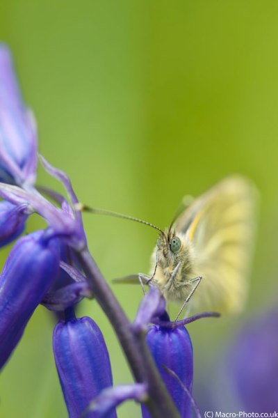 Green-veined White Butterfly(6)