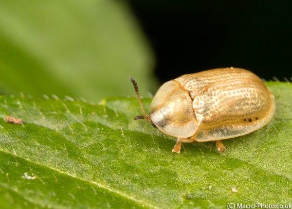 Pale Tortoise Beetle (Cassida flaveola)