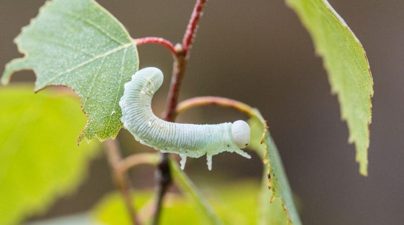 Sawfly Larvae - Geronimo!