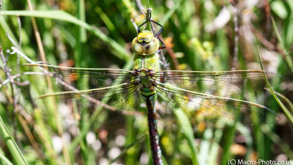 Emperor Dragonfly in Panorama format