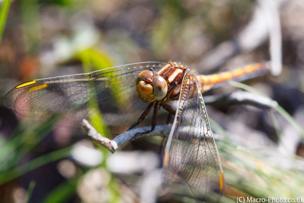 Keeled Skimmer head on