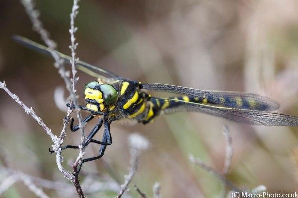 Golden-ringed Dragonfly closer up.