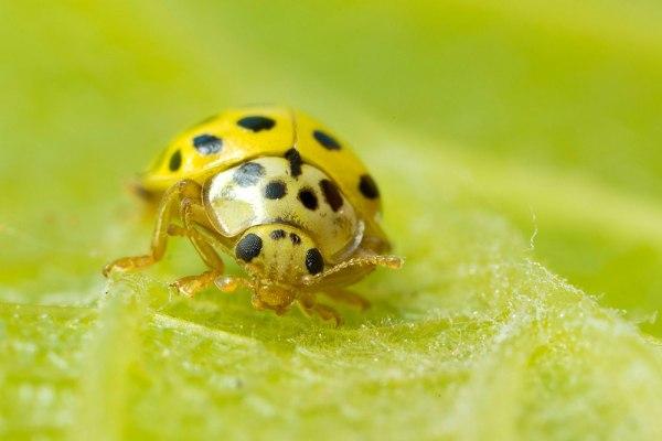 22 Spot Ladybird by Gordon Zammit (1)