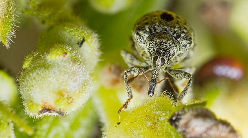 Cionus hortulanus Weevil (2)