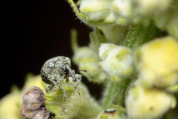 Cionus hortulanus Weevil (3)