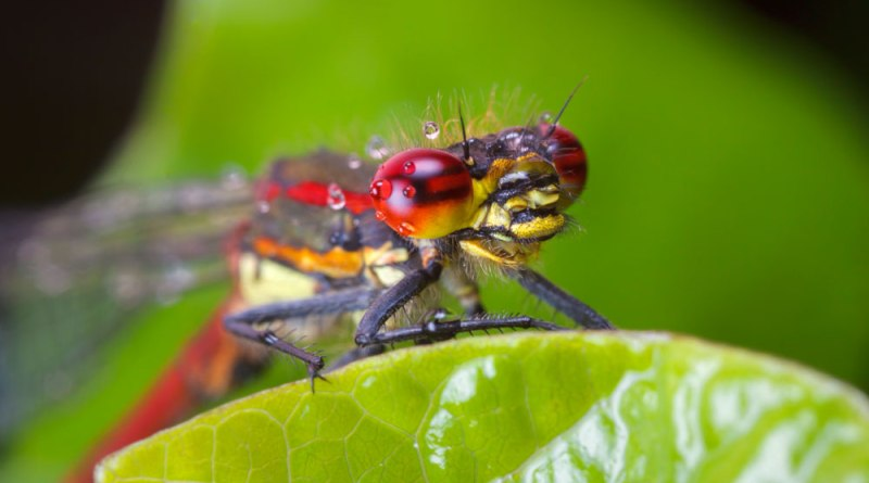 Large-red Damselfly rework