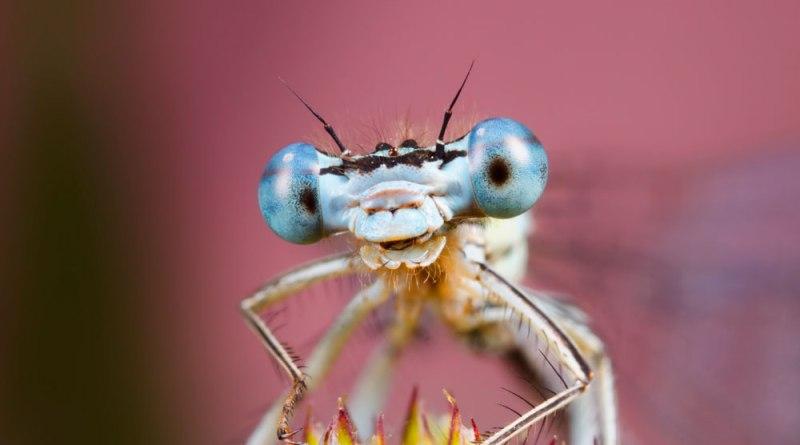 White Legged Dragonfly against Pink