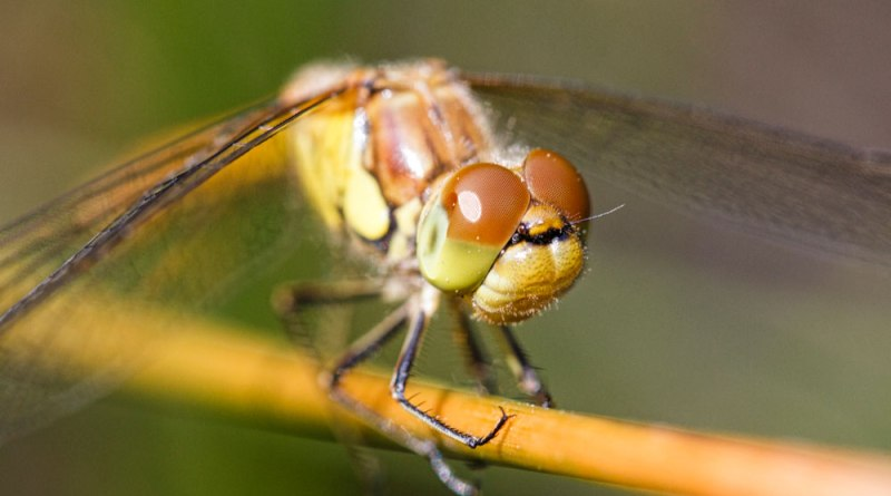 Darter with damaged eye