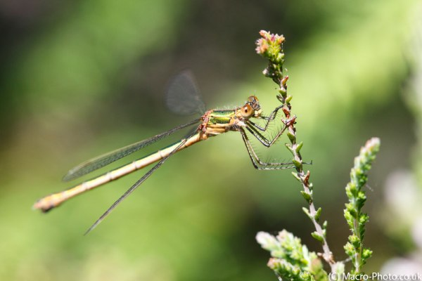 Emerald Damselfly (female)