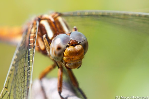 Keeled Skimmer Face On