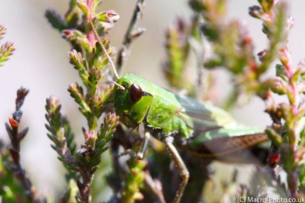 Grasshopper in the Heather