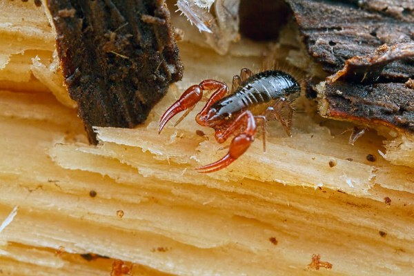 Psuedo Scorpion