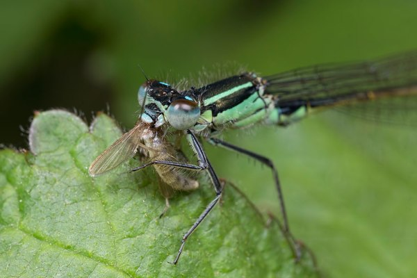 Damselfly with Mayfly lunch