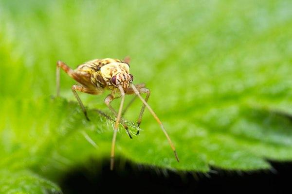 Bug on Nettle Leaf