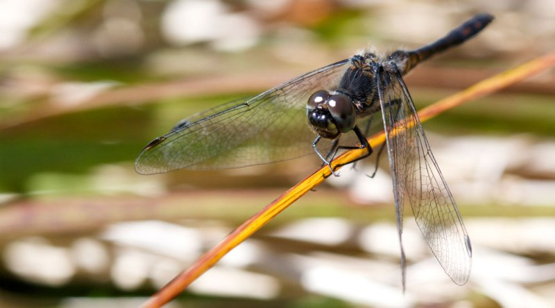 Male Black Darter