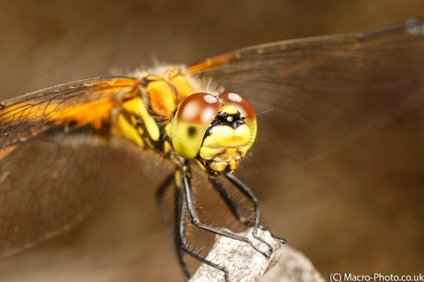 Female Black Darter MPE-65mm (1)