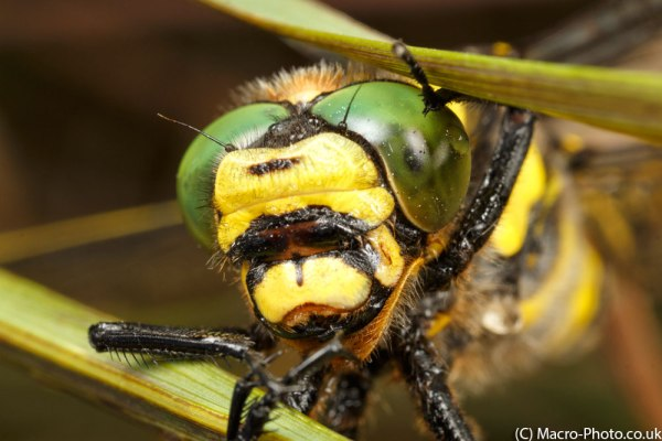 Golden-ringed Dragonfly MPE-65mm (1)