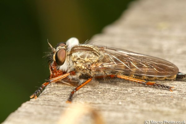 Brown Heath Robberfly with Ant Prey
