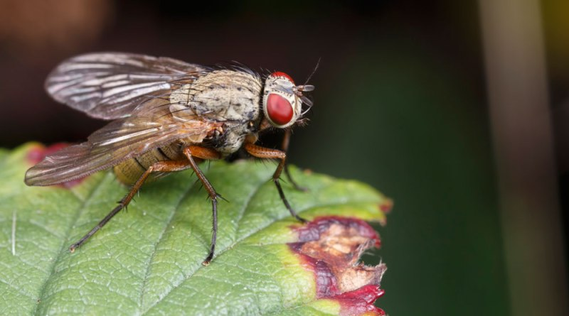 Fly on bramble leaf