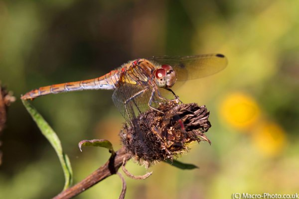 Common Darter original