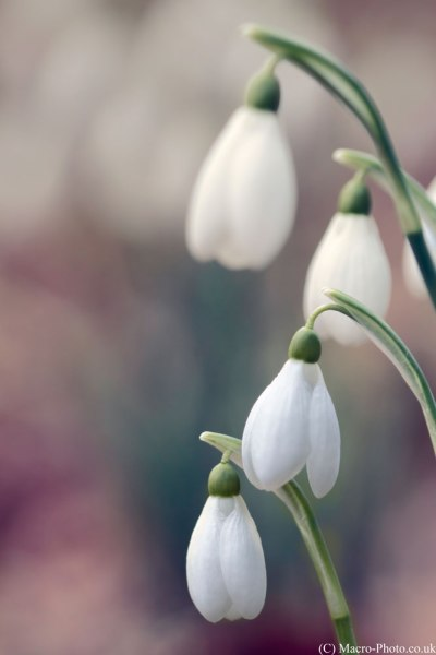 Snow Drops with Topaz Restyle