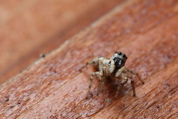 Jumping Spider. 270ex Flash. (Straight from RAW)