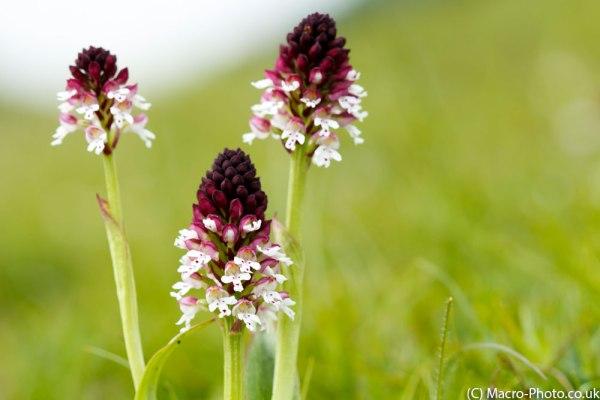 Burnt Tip - Wild Orchids - Original Image