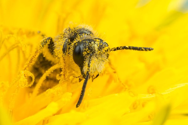 Bee in Yellow Flower 8