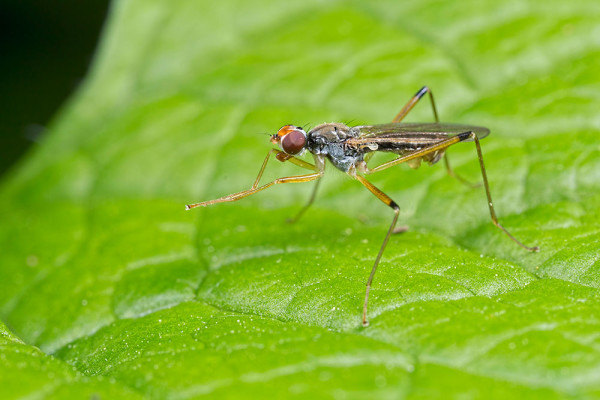 Stilt Legged Fly (2) - Family Micropezidae