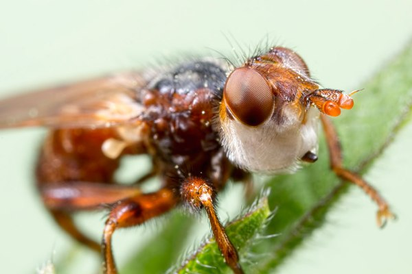 Thick-headed Fly - Myopa @ about3x Magnification