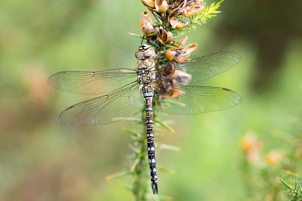Migrant Hawker - 4 Images Stacked