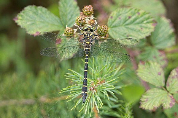 Golden-ringed Dragonfly - 5 Images Stacked