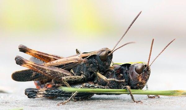 Mating Grasshopper - 7 Shot Stack