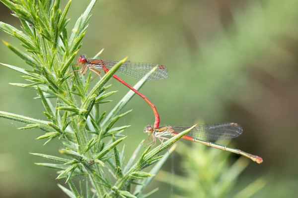 Small Red damselflies mating
