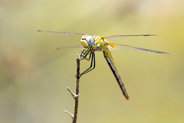 Dragonfly (1) by Gordon Zammit