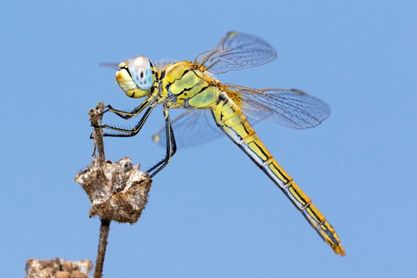 Dragonfly (5) by Gordon Zammit