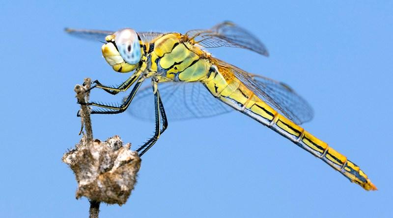 Dragonfly (6) by Gordon Zammit