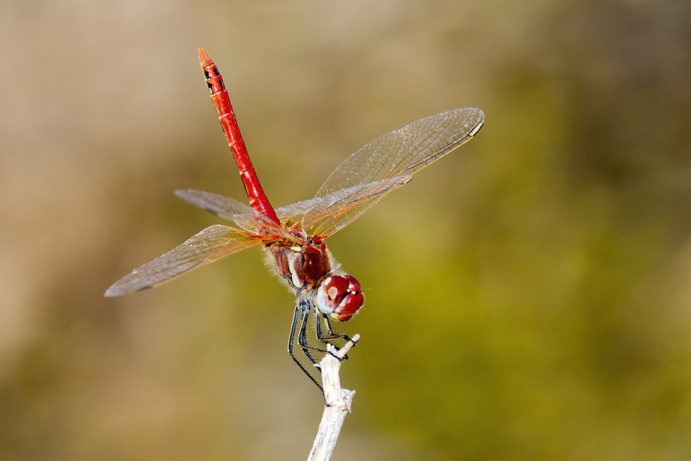The Red Dragonfly - by Gordon Zammit