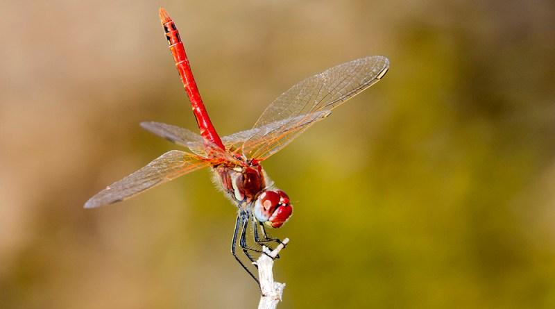 Red Dragonfly by Gordon Zammit (1)