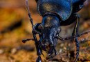 Violet Ground Beetle - Carabus violaceus