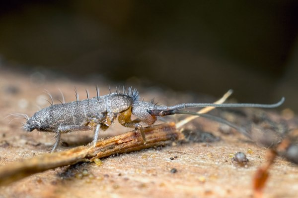 Elongated springtail