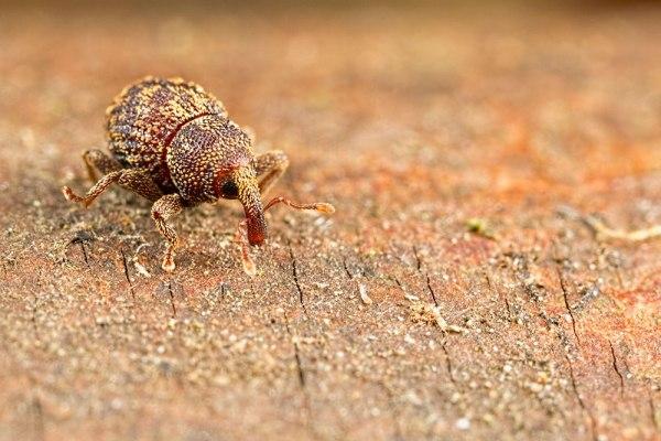 Weevil Walk