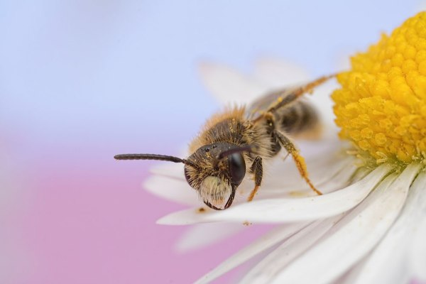 Solitary Bee Walking on Daisy