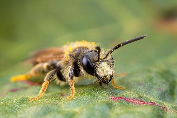 Andrena Bee